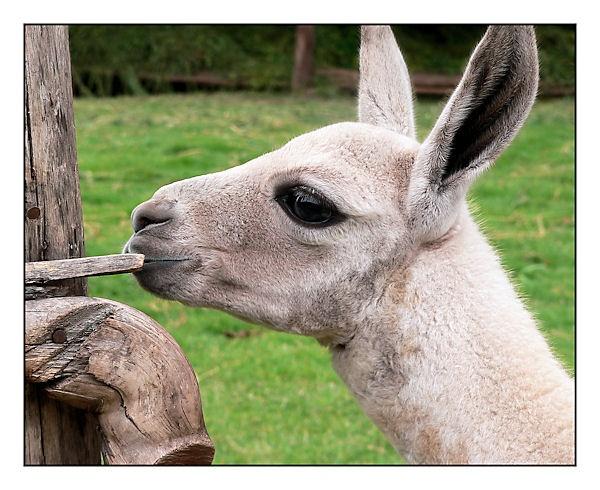 Young Llama by KangaGal