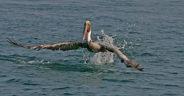 Brown Pelican (Pelicanus occidentalis urinator) by dwoody