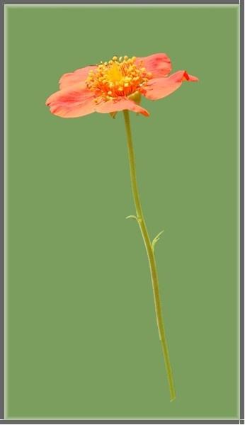 Little Peach Flower by mrsvee