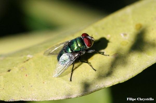 Green Metalic Fly by fjchrystello