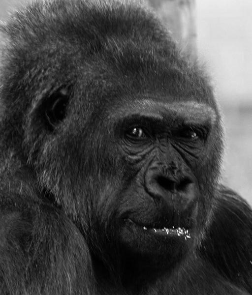 gorilla by ray_paul