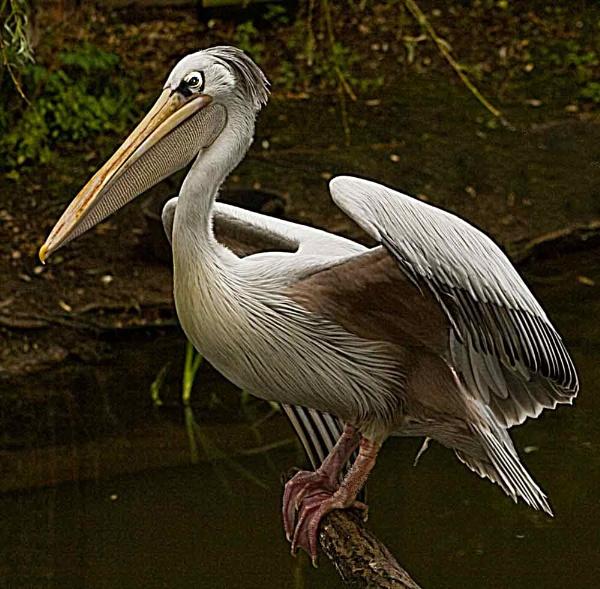 pelican by ray_paul