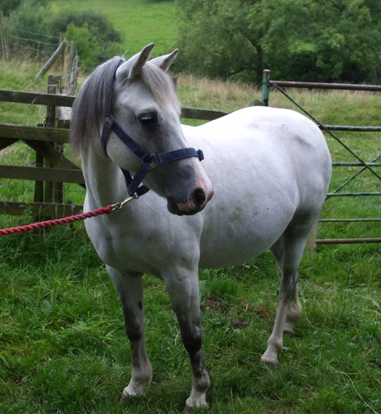 Welsh Pony by Hay1ey