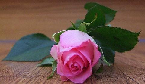 Fallen rose by Rhodes6949