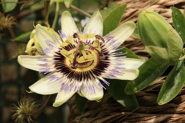 passiflora by ambrosej9