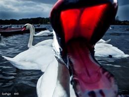 Hungry Swan #54
