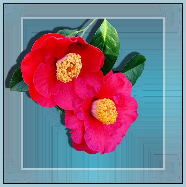 Camellias by pamelajean