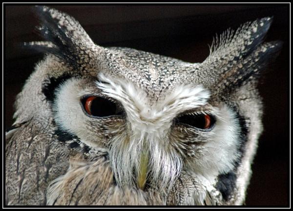 Owl by blondiebee