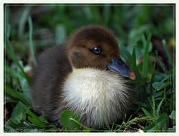 Muscovy Chick