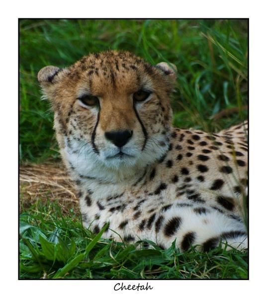 Cheetah by alwolf