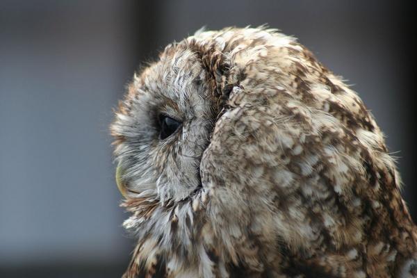 Tawny Owl by AdamCan