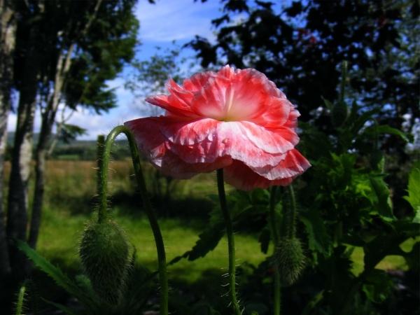 Wild Poppy by puffant