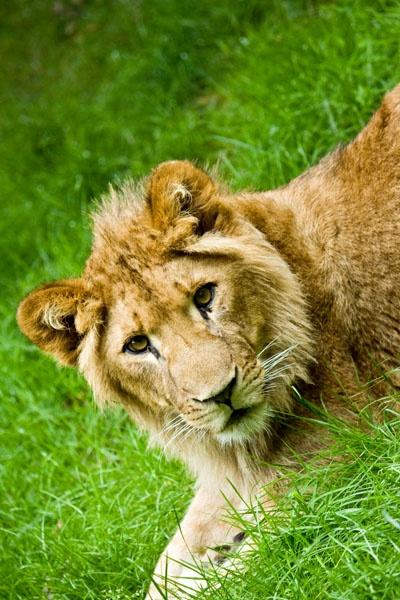 lion cub by vinnyc