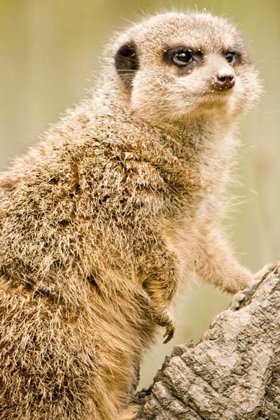 meerkat by vinnyc