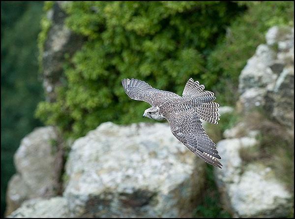 Gyr Falcon by jogafoto