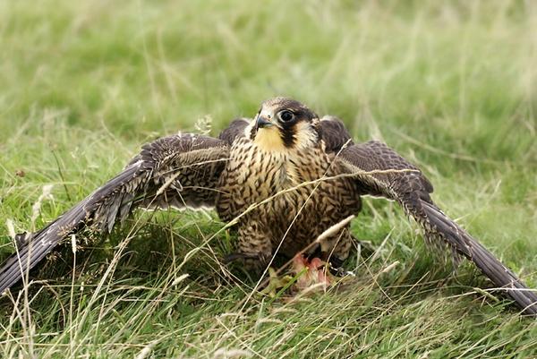 Feeding Lanar hawk by shooter632