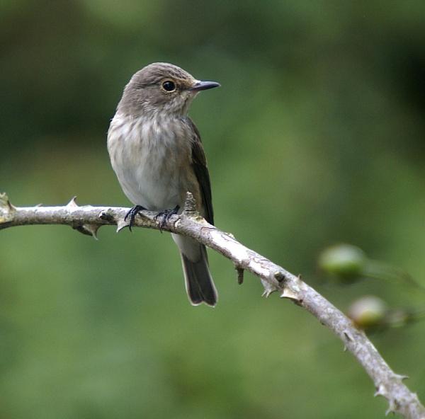Spotted flycatcher - portraits by petet410