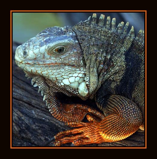Iguana by gribishok