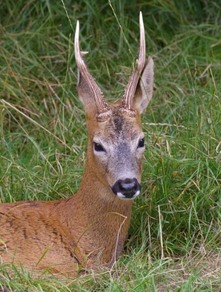 Roe Deer by UncleFester