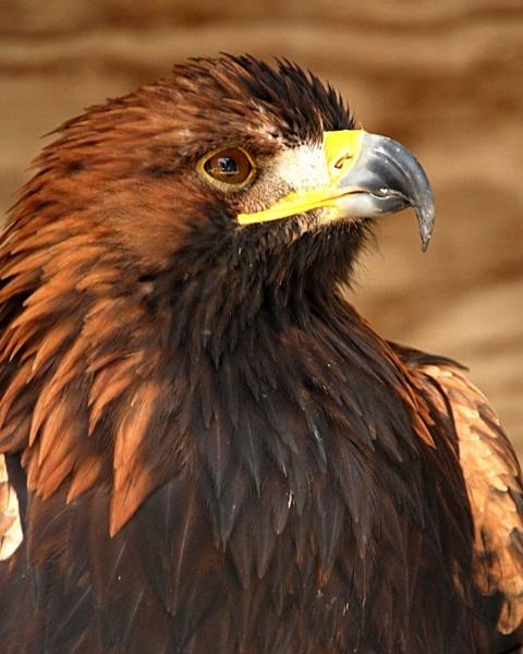 Golden Eagle by peel3081