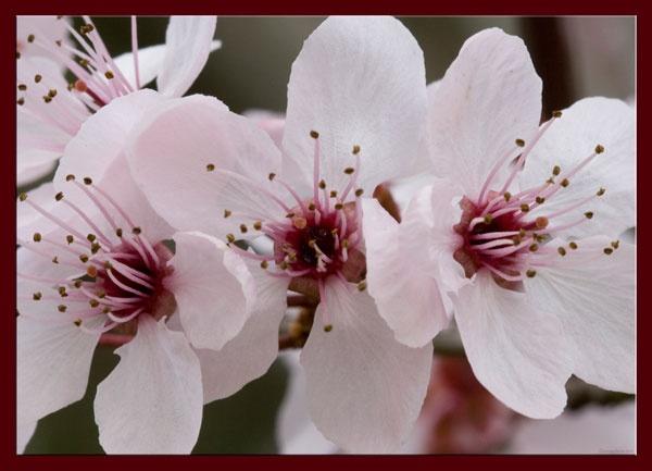 Plum Blossom by penelope_r