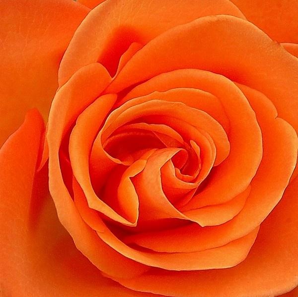 Dazzling Orange Rose by mrsvee