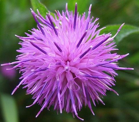Purple flower by vickyal