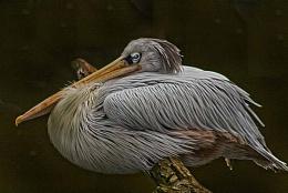 pelican number2