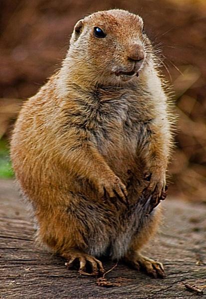 prairie marmot by ray_paul