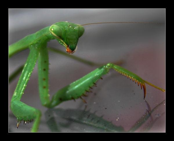 Mantis by SteveNZ