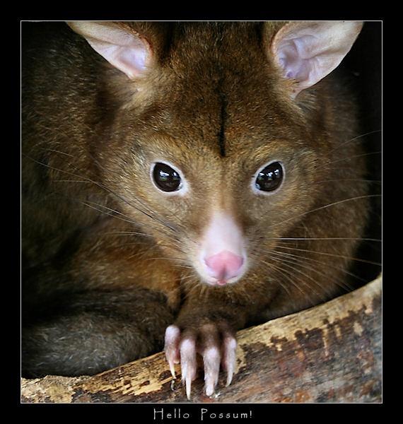 Hello Possum! by SteveNZ