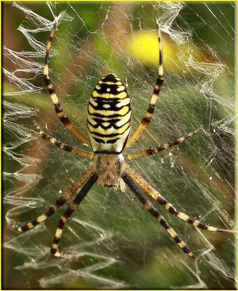 Wasp Spider by daffydill56