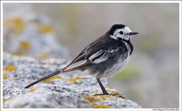 Pied Wagtail by justin c