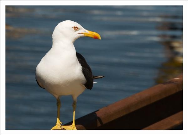 Stavanger Seagull by Aurora