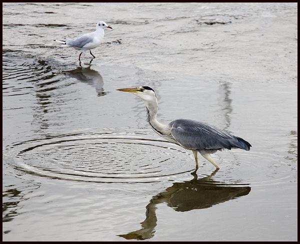 heron and friend by rickie