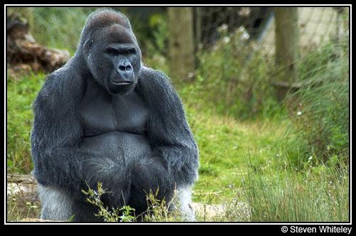Gorilla by Cacus
