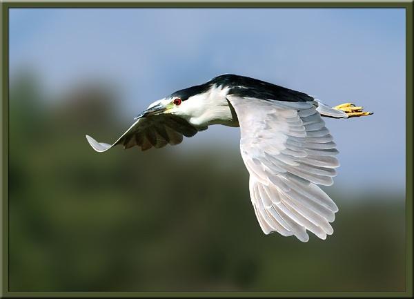 Night Heron by VNelson