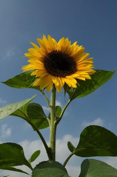 Sunflower by yasika