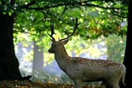 The Sevenoaks buck