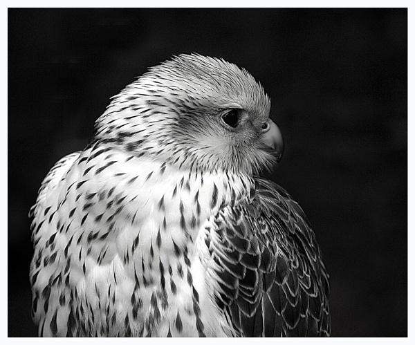 Saker Falcon by ringyneck