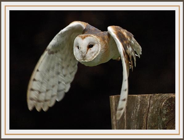 Barn Owl by arhb