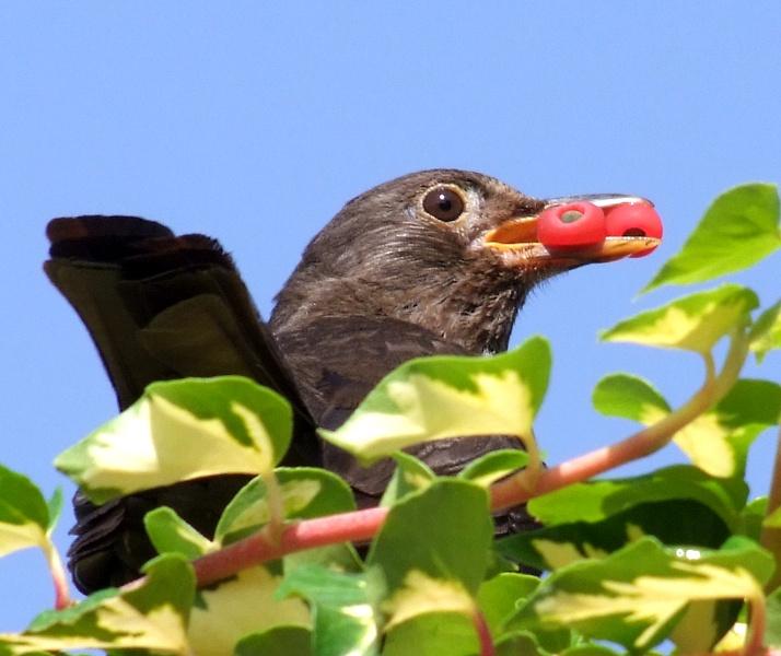 Berry Pinching Hen