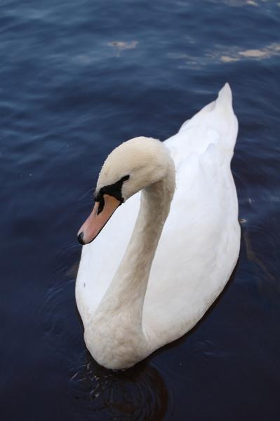 swan by ian_b