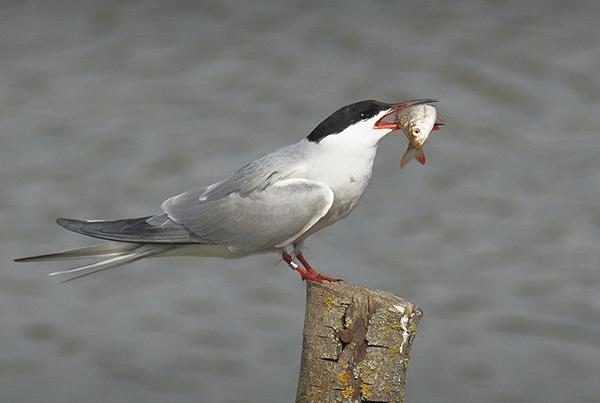 Tern Feeding by andybaker