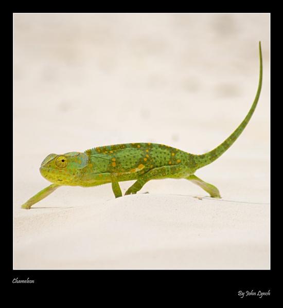 Chameleon by JohnLynch