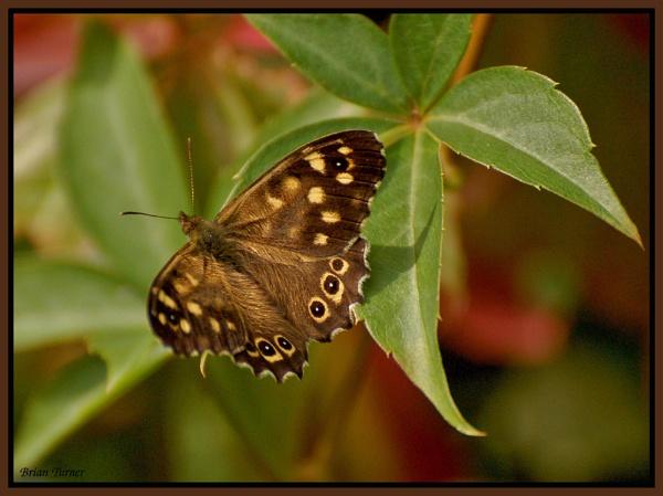 butterfly by ducatifogarty