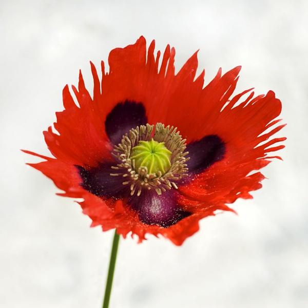 Ragged Poppy by richardolivermartin
