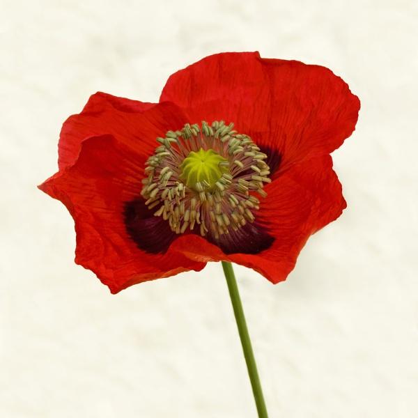 Poppy by richardolivermartin