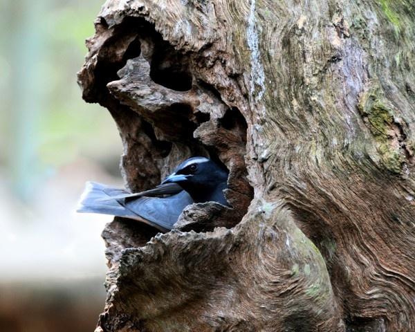 White-browed Woodswallow by KangaGal