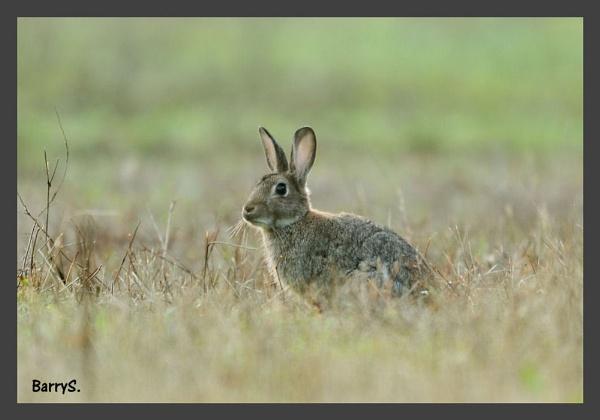 Rabbit in crop field by smitbar